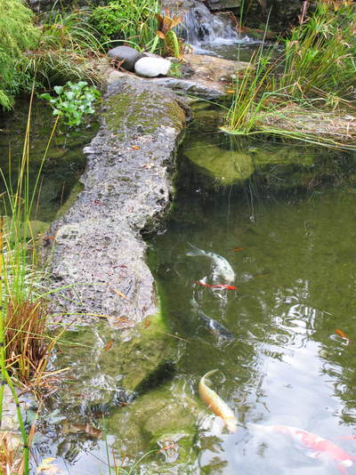 Koi pond fish for sale supplies pond retailer network for Pond stuff for sale